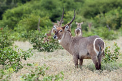 Waterbuck. Kobus ellipsiprymnus , big male in the green savanna stock images
