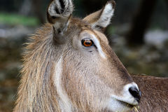 Waterbuck Kobus ellipsiprymnus  Close-up of face with grasslan Royalty Free Stock Photo