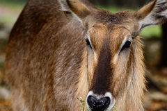 Waterbuck Kobus ellipsiprymnus Close-up of face with grasslan. D background. Raindrops on fur royalty free stock photos