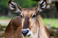 Waterbuck Kobus ellipsiprymnus Close-up of face with grasslan. Waterbuck Kobus ellipsiprymnus profile view. Close-up of face with grassland background royalty free stock photography
