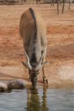 Waterbuck - Kobus ellipsiprymnus Stock Images