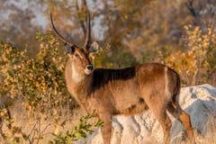 Waterbuck Kobus ellipsiprymnus early morning, Hwenge, Zimbabwe royalty free stock photo