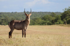 Waterbuck(Kobus ellipsiprymnus) in kruger national park Stock Photo