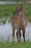 Waterbuck (Kobus ellipsiprymnus) Royalty Free Stock Images