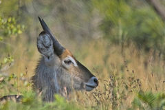Waterbuck (Kobus ellipsiprymnus) royalty free stock image