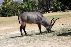 Antilope waterbuck or Kobus ellipsiprymnus. The waterbuck or Kobus ellipsiprymnus is a large antelope found widely in sub-Saharan Africa stock photography