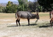 Antilope waterbuck or Kobus ellipsiprymnus. The waterbuck or Kobus ellipsiprymnus is a large antelope found widely in sub-Saharan Africa stock photos