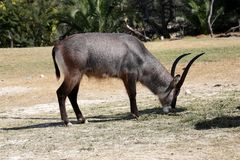 Antilope waterbuck or Kobus ellipsiprymnus. The waterbuck or Kobus ellipsiprymnus is a large antelope found widely in sub-Saharan Africa stock image