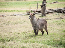 The waterbuck (Kobus ellipsiprymnus) Royalty Free Stock Photos
