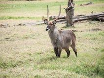 The waterbuck (Kobus ellipsiprymnus) Royalty Free Stock Photos