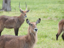 The waterbuck (Kobus ellipsiprymnus) Stock Image