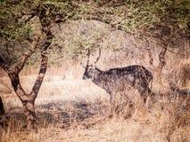 The waterbuck (Kobus ellipsiprymnus) Royalty Free Stock Photography