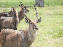 The waterbuck (Kobus ellipsiprymnus) Stock Photos