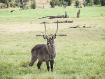 The waterbuck (Kobus ellipsiprymnus) Stock Photo