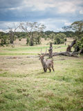 The waterbuck (Kobus ellipsiprymnus) Royalty Free Stock Photography