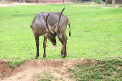 Waterbuck. The waterbuck (Kobus ellipsiprymnus) is a large antelope found widely in sub-Saharan Africa. It is placed in the genus Kobus of the family Bovidae. It Royalty Free Stock Image