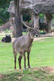 Waterbuck Royalty Free Stock Photos
