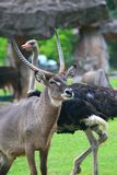 Waterbuck. The waterbuck (Kobus ellipsiprymnus) is a large antelope found widely in sub-Saharan Africa. It is placed in the genus Kobus of the family Bovidae. It Stock Images