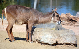 The waterbuck. Kobus ellipsiprymnus is a large antelope found widely in sub-Saharan Africa. It is placed in the genus Kobus of the family Bovidae Stock Photos