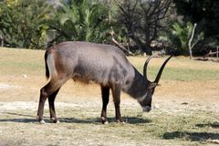 Waterbuck or Kobus ellipsiprymnus. The waterbuck Kobus ellipsiprymnus is a large antelope found widely in sub-Saharan Africa Royalty Free Stock Photography