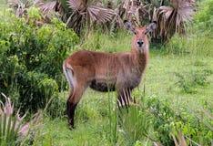 Defassa waterbuck kobus ellipsiprymnus defassa or antílope acuático, Murchison Falls National Park,Uganda