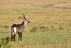 Waterbuck Kobus ellipsiprymnus Stock Photos