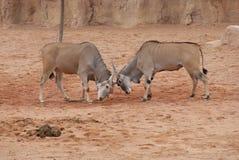 Waterbuck - Kobus ellipsiprymnus. Large Wild Waterbuck - Kobus ellipsiprymnus Stock Image