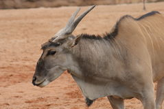 Waterbuck - Kobus ellipsiprymnus Stock Photography