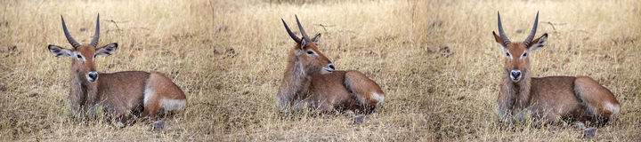 Waterbuck (Kobus ellipsiprymnus) Stock Photography