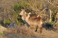 Waterbuck (Kobus ellipsiprymnus). Male and female Waterbuck (Kobus ellipsiprymnus) in the Kruger National Park, South Africa Stock Images