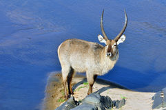 Waterbuck in Africa Stock Photos