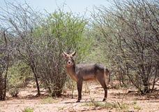 The waterbuck Kobus ellipsiprymnus in namibia , africa.  Stock Photo