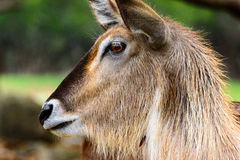 Waterbuck Kobus ellipsiprymnus profile view. Close-up of face. With grassland background royalty free stock photos