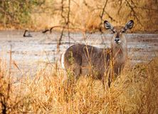 Waterbuck posing while standing in the African bush, South Luangwa, Zambia. Waterbuck Kobus ellipsiprymnus0 standing in the bush with glden sunlight lighting up royalty free stock photos