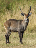 The waterbuck (Kobus ellipsiprymnus). Waterbuck African Wildlife Background Nature Portrait of Life. Royalty Free Stock Images
