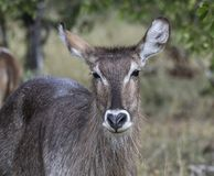 Waterbuck, Kobus ellipsiprymnus. Facing camera, Kruger National Park, South Africa royalty free stock photos