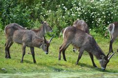 The waterbuck Kobus ellipsiprymnus. Is a large antelope found widely in sub-Saharan Africa. It is placed in the genus Kobus of the family Bovidae Royalty Free Stock Photo