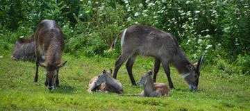 The waterbuck Kobus ellipsiprymnus. Is a large antelope found widely in sub-Saharan Africa. It is placed in the genus Kobus of the family Bovidae Stock Photos
