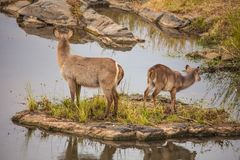 Waterbuck Kobus ellipsiprymnus. On a small river island in Kruger National Park. South Africa royalty free stock image