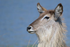 Waterbuck (Kobus ellipsiprymnus) stock photo