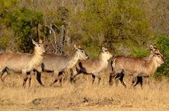 Waterbuck (Kobus ellipsiprymnus). At waterhole in Kruger National Park, South Africa royalty free stock photography