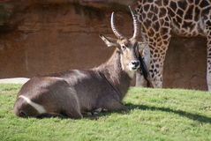 Waterbuck - Kobus ellipsiprymnus Stock Photo