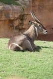 Waterbuck - Kobus ellipsiprymnus Stock Images