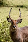 Waterbuck in Africa savannah wild nature. Waterbuck Kobus ellipsiprymnus wild antelope deer with horn in Africa savannah nature. Safari game wild nature national Stock Photos