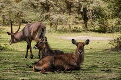 Waterbuck female in Africa wild nature. Waterbuck Kobus ellipsiprymnus wild antelope deer with horn in Africa savannah nature. Safari game wild nature national Stock Photos
