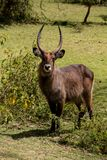 Waterbuck male in Africa wild nature forest. Waterbuck Kobus ellipsiprymnus wild antelope deer male without horn in Africa savannah nature. Safari game wild Stock Photography