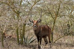 Waterbuck young male in Africa wild nature forest. Waterbuck Kobus ellipsiprymnus wild antelope deer male with horn in Africa savannah nature. Safari game wild Stock Photos
