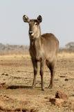 Waterbuck, Kobus ellipsipymaus Lizenzfreie Stockfotos