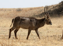 Waterbuck, Kobus ellipsipymaus Stockfotos
