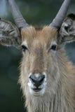 Waterbuck, Kobus ellipsipymaus, Stock Image